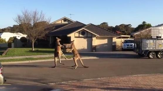 Two kangaroos having a street fight in Australia (PHOTO/VIDEO courtesy of Rodney Langham/ViralHog)