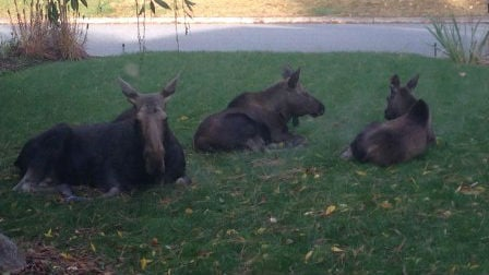 KHQ Viewer Alison sent in photos to KHQ of some moose just chilling on her front lawn