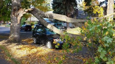A tree rests on Conor Giorgi's Subaru after strong winds knocked it over last night. (Photo: Sandy Bareither)