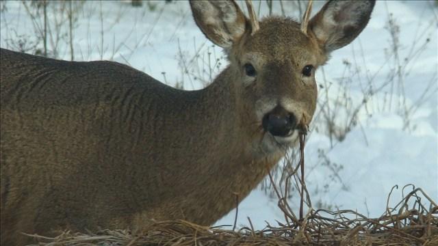 Hunters take 50 mule deer early in hunt to test for disease