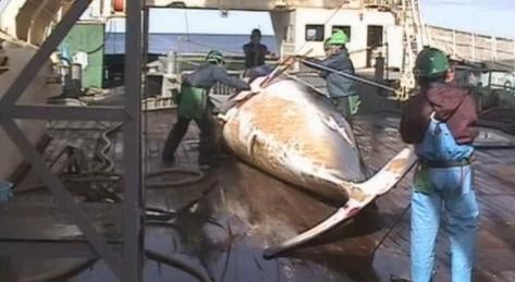 Japan said its quota for hunting whales will be reduced this season