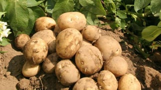 The WSPC is looking for Washington's biggest potato fan. Is it you?