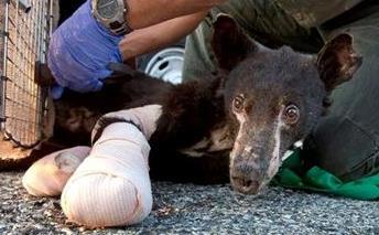 Cinder the bear is Idaho bound.