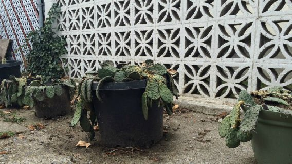 Cacti is one booby trap a N. Spokane woman is using to stop break ins in her area.