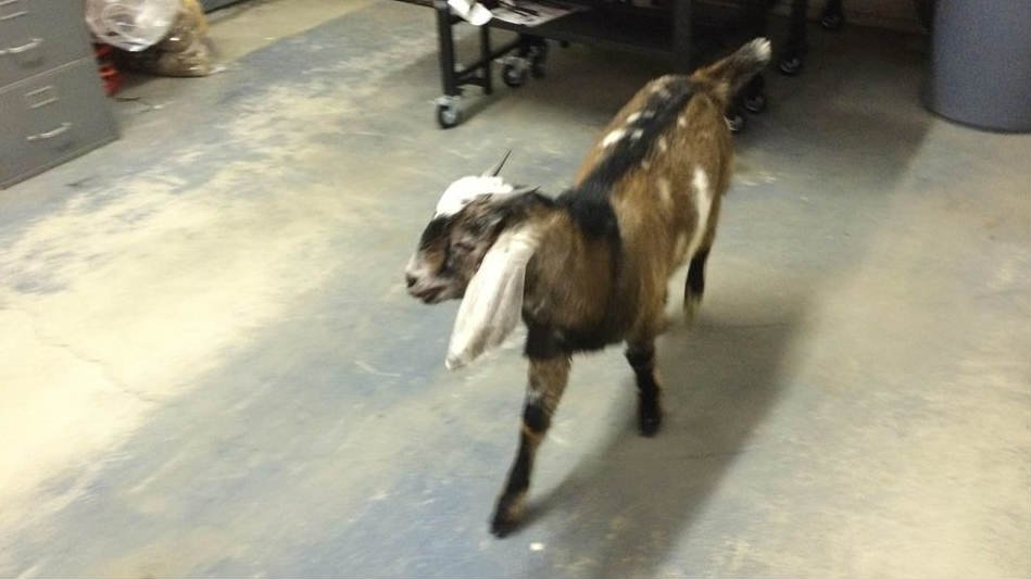 Do you recognize this goat?