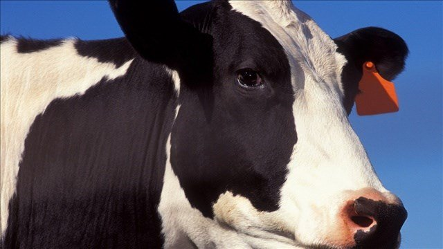 A national farm animal rescue organization says it wants to take possession of two cows that escaped from an Idaho slaughterhouse.