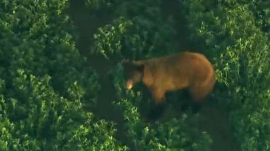 Authorities have given up trying to capture this loose bear. Photo: NBC