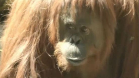 This 29-year-old orangutan named Sandra has been granted some legal rights.