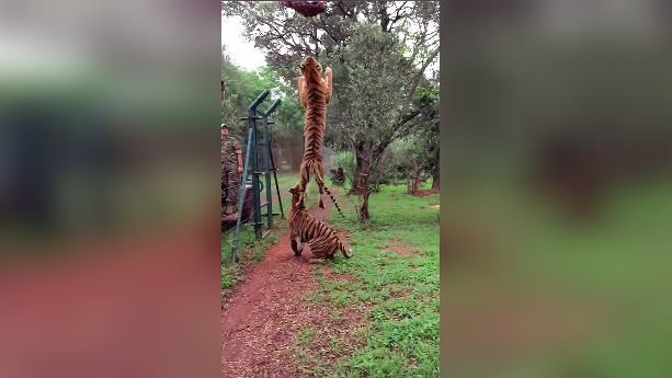 This tiger was hungry. Photo: YouTube/Maxime Dehaye