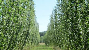 Hop growers have produced their largest crop of hops in five years.