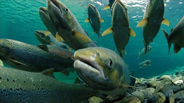 Study launched on restoring salmon runs to upper Columbia