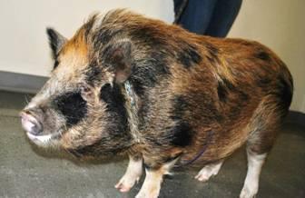 Pot Belly Pig found running through Spokane on Valentine's Day