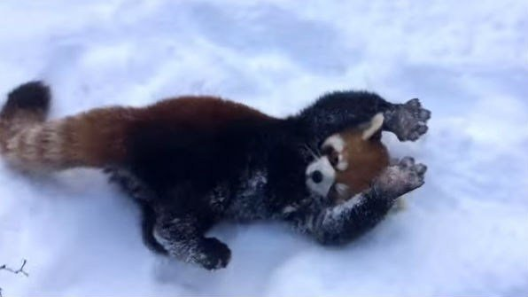Red pandas enjoying the snow. Photo: YouTube/The Cincinnati Zoo and Botanical Gardens