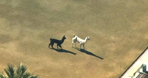 Llamas on the run in Sun City, Arizona on Thursday.