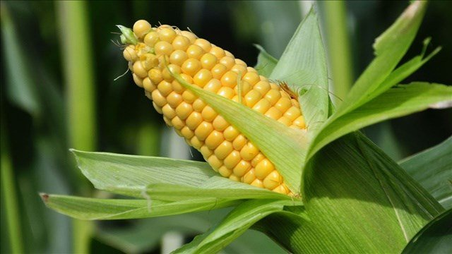 A Connecticut farm worker has died after a pile of milled corn collapsed on him.