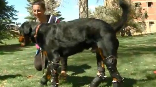 Brutus trains on his prosthetic legs. Photo: NBC