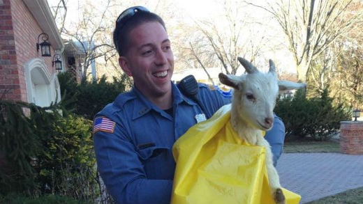 Officers captured the goat as it was running in the roadway. Photo: Paramus Police Department Facebook