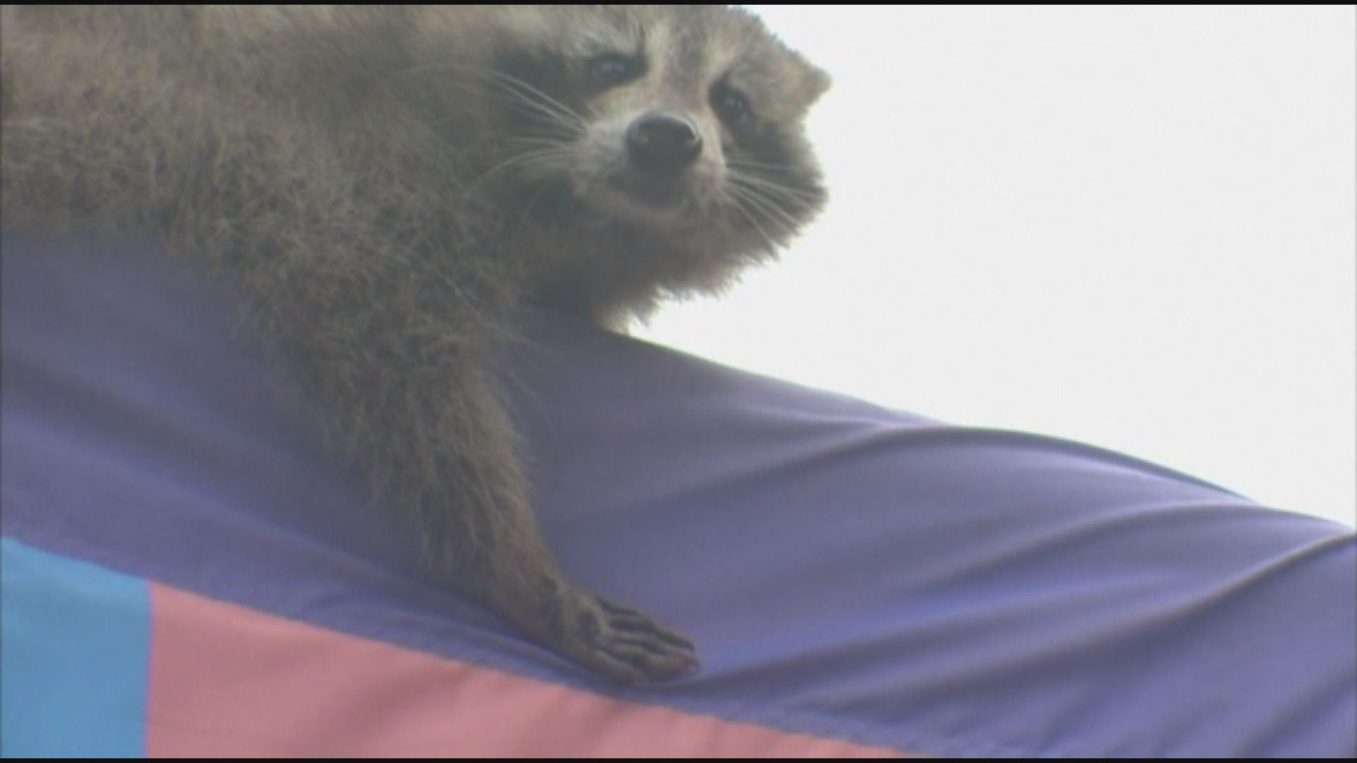 """I immediately regret this decision."" - Philadelphia raccoon"
