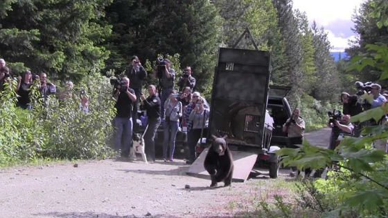 Cinder the Bear is released into the wild on Wednesday. (PHOTO: Washington State Department of Fish and Wildlife)
