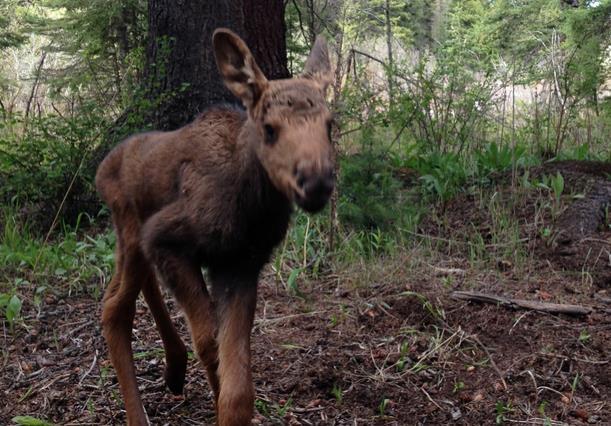 Orphaned moose tragedy: Orphaned Moose Killed