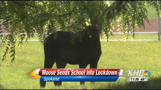 Moose on the loose in Shadle Park