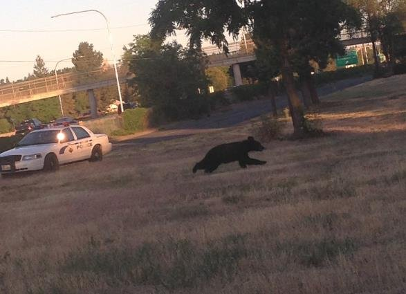Black bear spotted off I-90 between Altamont and Freya exits