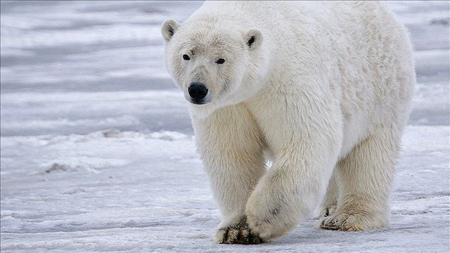 f humans don't reverse global warming and stop the loss of sea ice, it's unlikely polar bears will continue as a species.  That's the blunt assessment in the U.S. Fish and Wildlife Service's draft recovery plan for polar bears filed Thursday