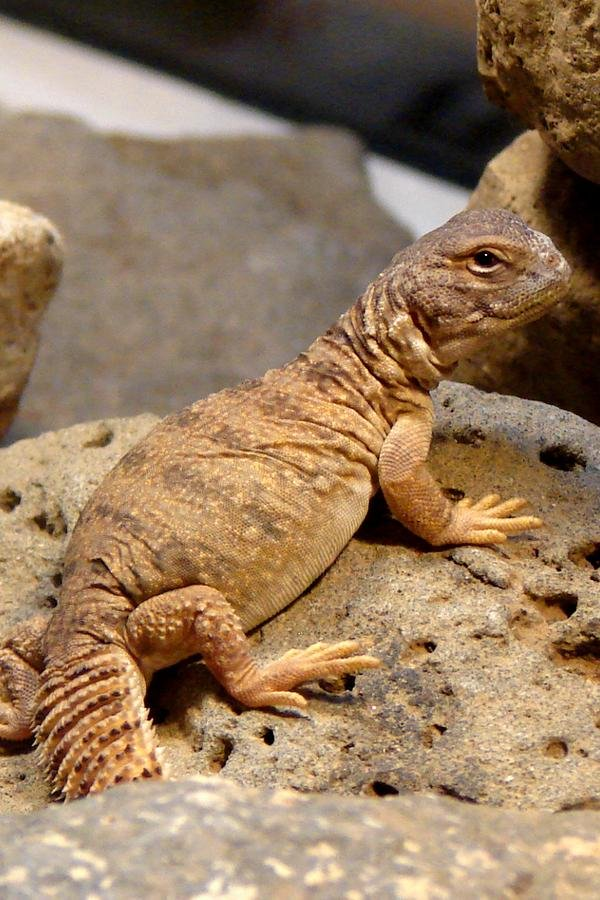 This is one of our Uromastyx lizards, Simon.  He has a twin brother named Simon.