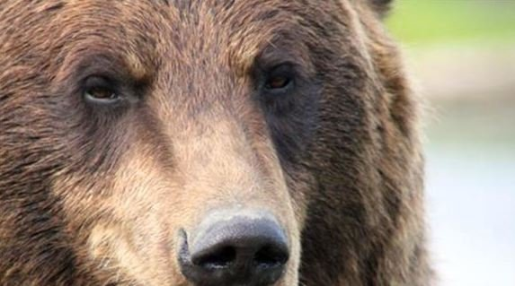 Montana wildlife officials say a 38-year-old mountain biker who was killed by a bear riding just outside Glacier National Park likely collided with the bear before he was attacked.