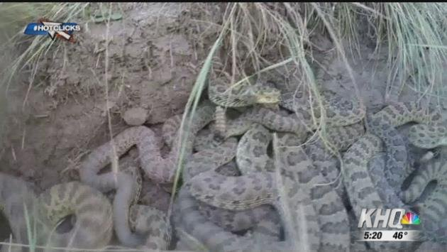 Hot Clicks Man Drops Gopro Into Pit Of Rattle Snakes