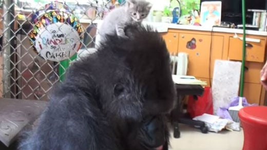 Koko celebrates her birthday with kittens. Photo: YouTube/kokoflix