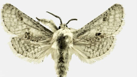 An auction on eBay allows the public to purchase the right to name a new species of moth. Photo: Eric H. Metzler