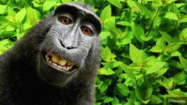 Now-famous 'selfie' photos of Naruto the monkey have become the focal point of a copyright legal battle.