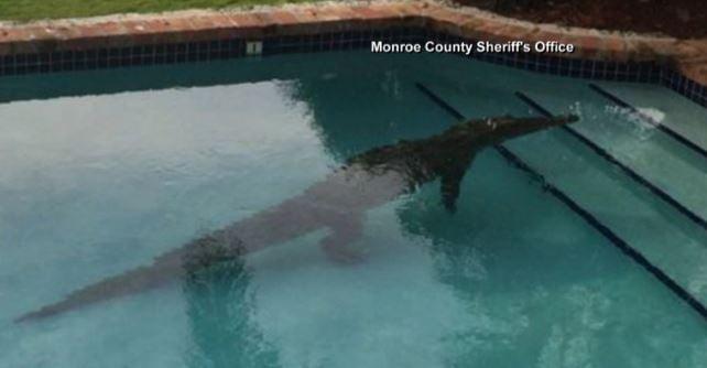 Hot Clicks Crocodile Takes Morning Dip In Florida Keys Swimming Spokane North Idaho News